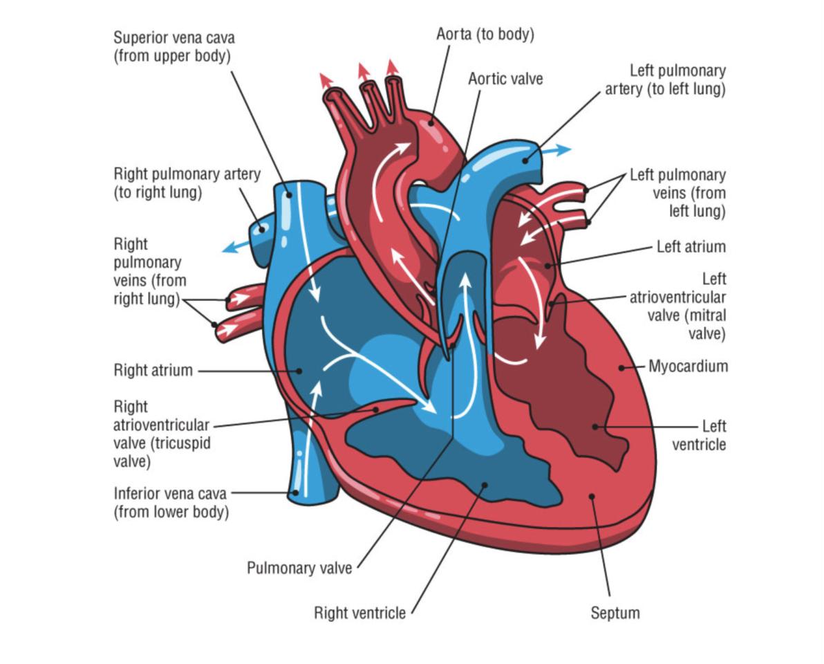 heart arrhythmias in endurance athletes